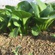 画像3: 有機農産物 有機小松菜 1束160g (3)