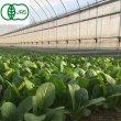 画像1: 有機農産物 有機小松菜 1束160g (1)